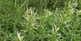 Canada Thistle Plants Infected With the Bacterium Pseudomonas syringae pv. tagetis
