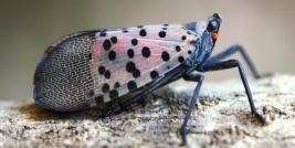 Spotted Lanternfly (Lycorma delicatula) Adult, Bugwood.org