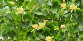 Tuliptree in Bloom