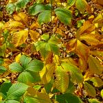 bottlebrush buckeye foliage