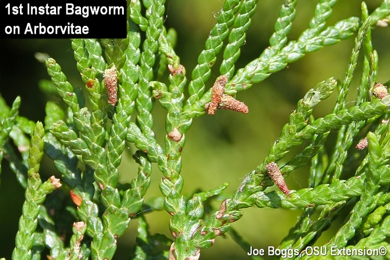 bagworms insecticide - Parfu kaptanband co