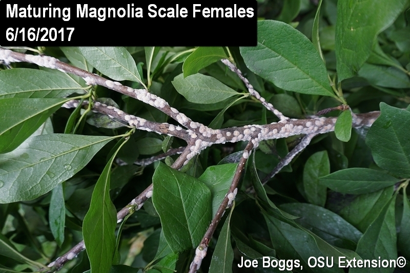 Magnolia Scale Is Pumping Out Honeydew Bygl