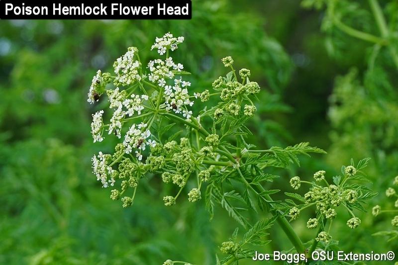 Poison hemlock is flowering and towering over fields and landscapes poison hemlock is flowering and towering over fields and landscapes in southern ohio mightylinksfo