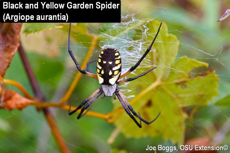 Garden Spider Orb Weavers