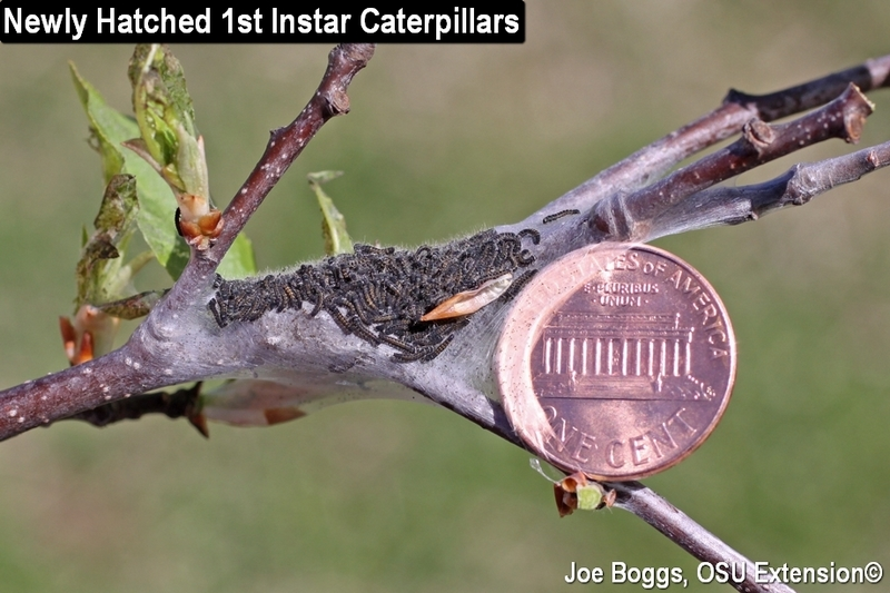 Eastern Tent Caterpillar 1st Instar Nest & Eastern Tent Cats to Arrive Soon | BYGL