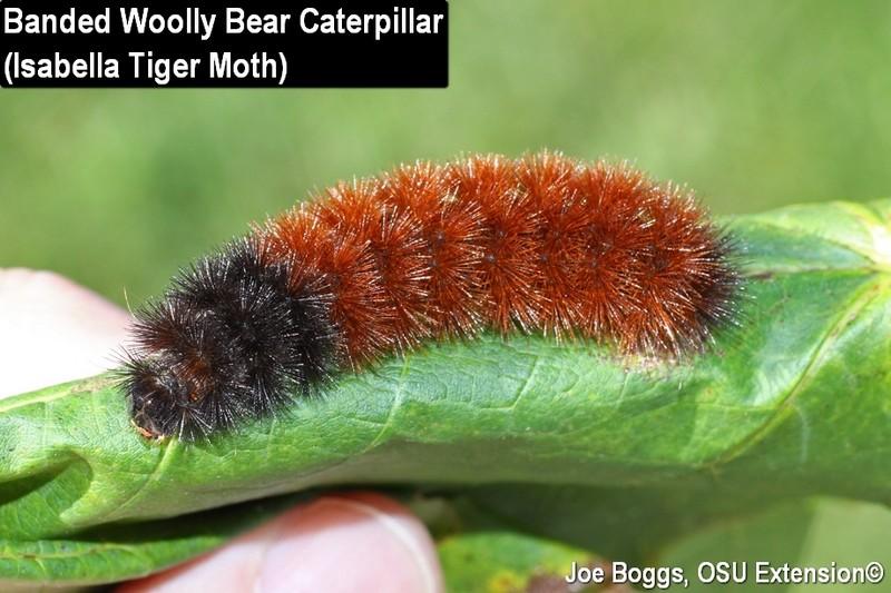 Delayed Woolly Bear Crawl-About? | BYGL