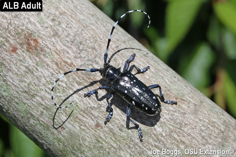 Asian Longhorned Beetle (ALB) Eradication Program in Ohio Scores a