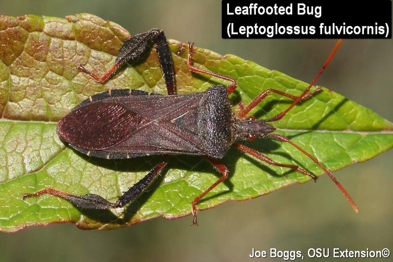 leaf footed bugs bygl