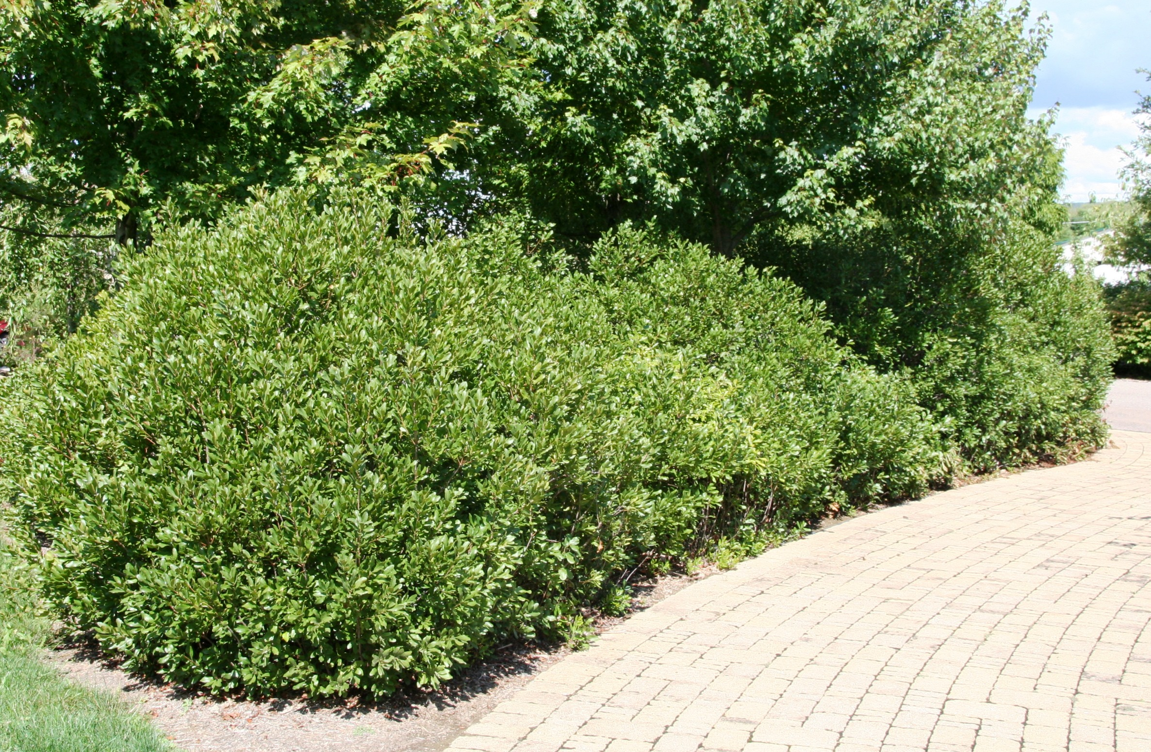 Shrub of the Week: Northern Bayberry | BYGL