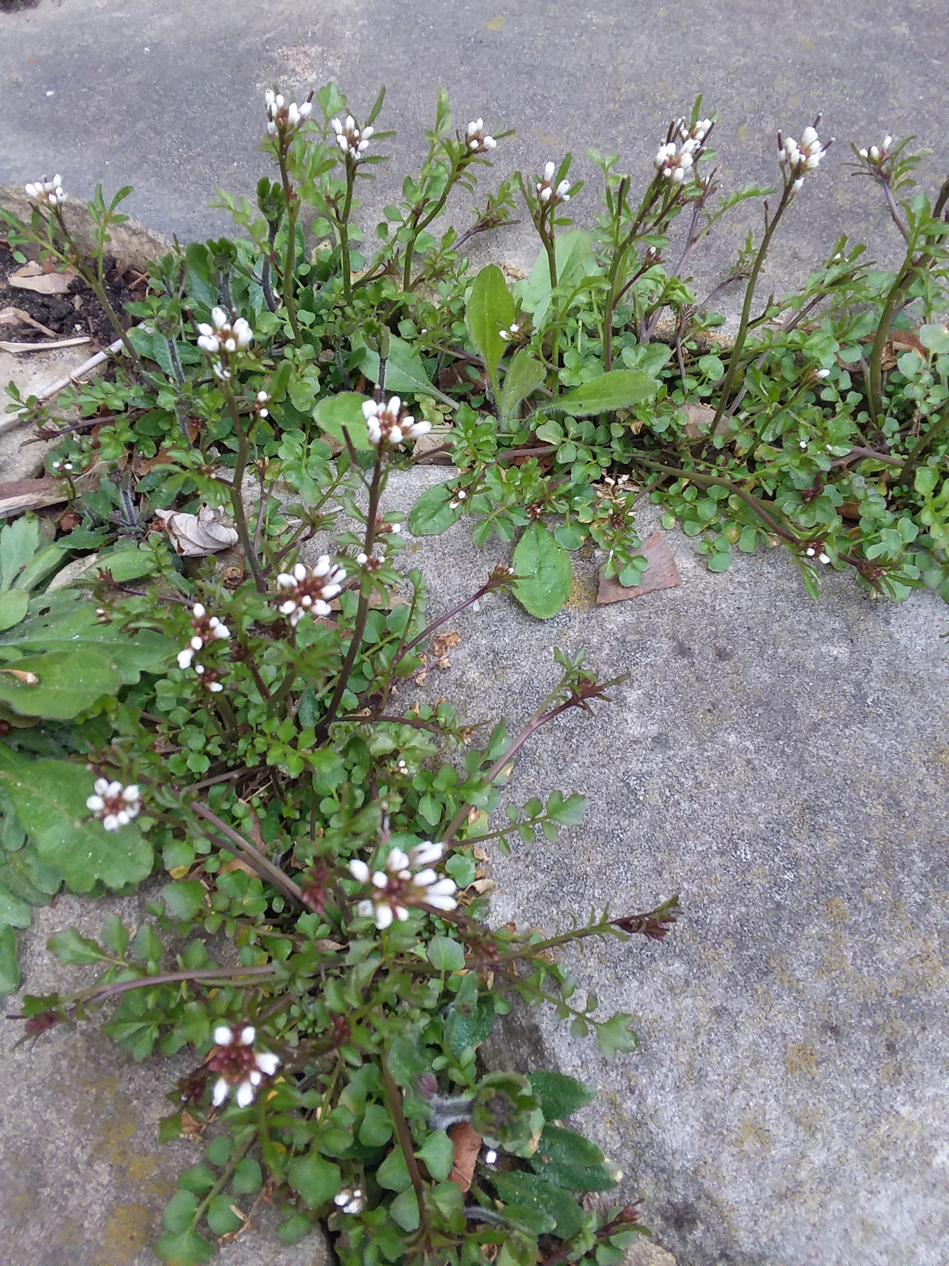 Weed Of The Week Bittercress Bygl