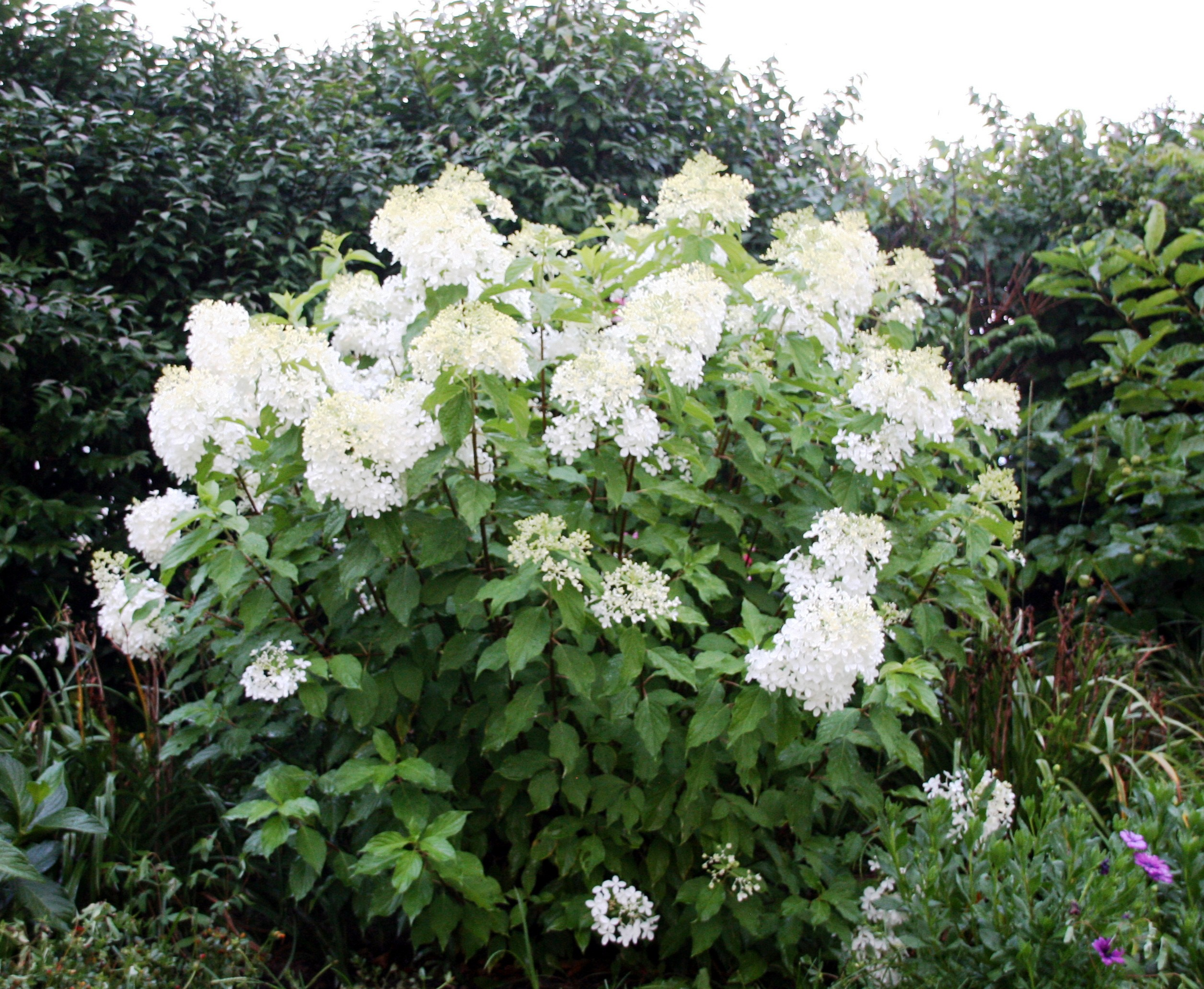 shrub of the week 39 phantom 39 hydrangea bygl. Black Bedroom Furniture Sets. Home Design Ideas