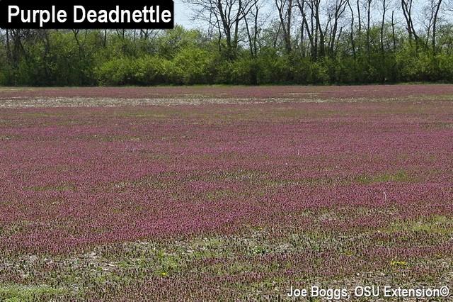 Purple Deadnettle in a field