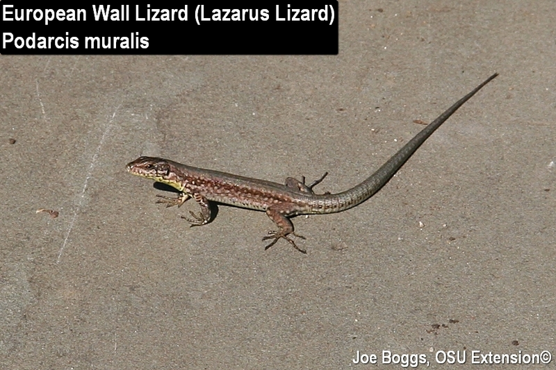 Lazarus Lizard - European Wall Lizard