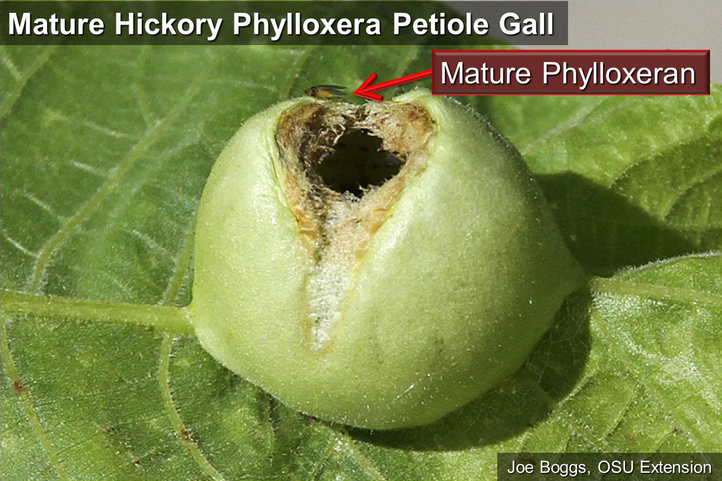 Mature Hickory Petiole Gall with Emerged Adult Phylloxeran