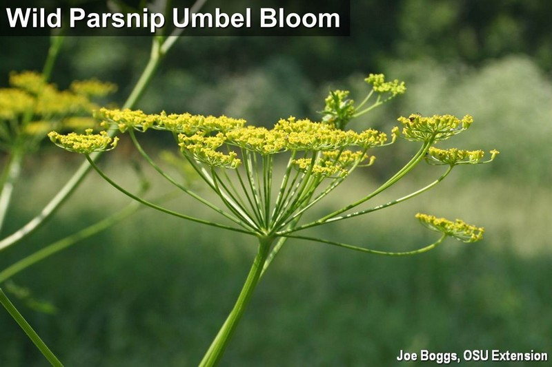 Wild Parsnip Umbel Bloom