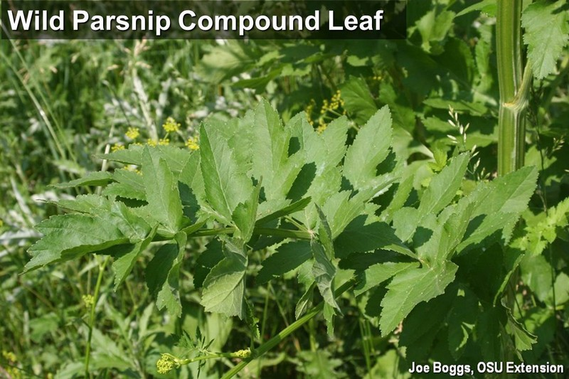 Wild Parsnip Compound Leaf