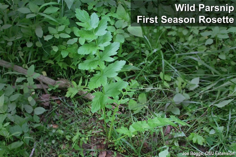 Wild Parsnip First Season Rosette