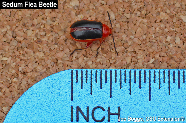Sedum Flea Beetle