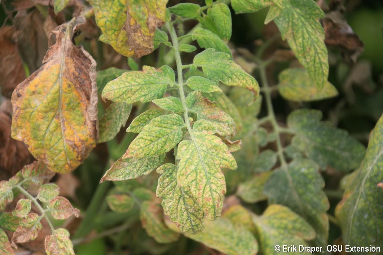 Stippling Bronzing On Tomato Leaves