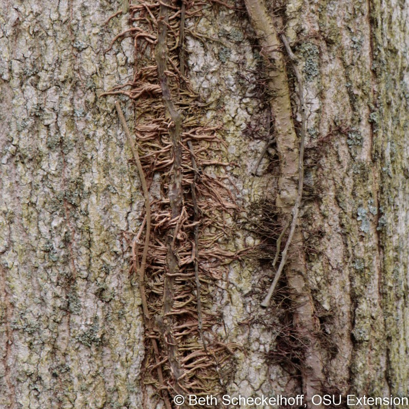 "Adventitious roots give poison ivy a ""hairy"" appearance."