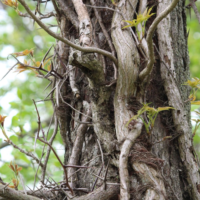 Virginia creeper and poison ivy intertwined on honey locust.