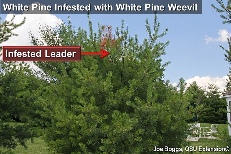 White Pine Infested with White Pine Weevil