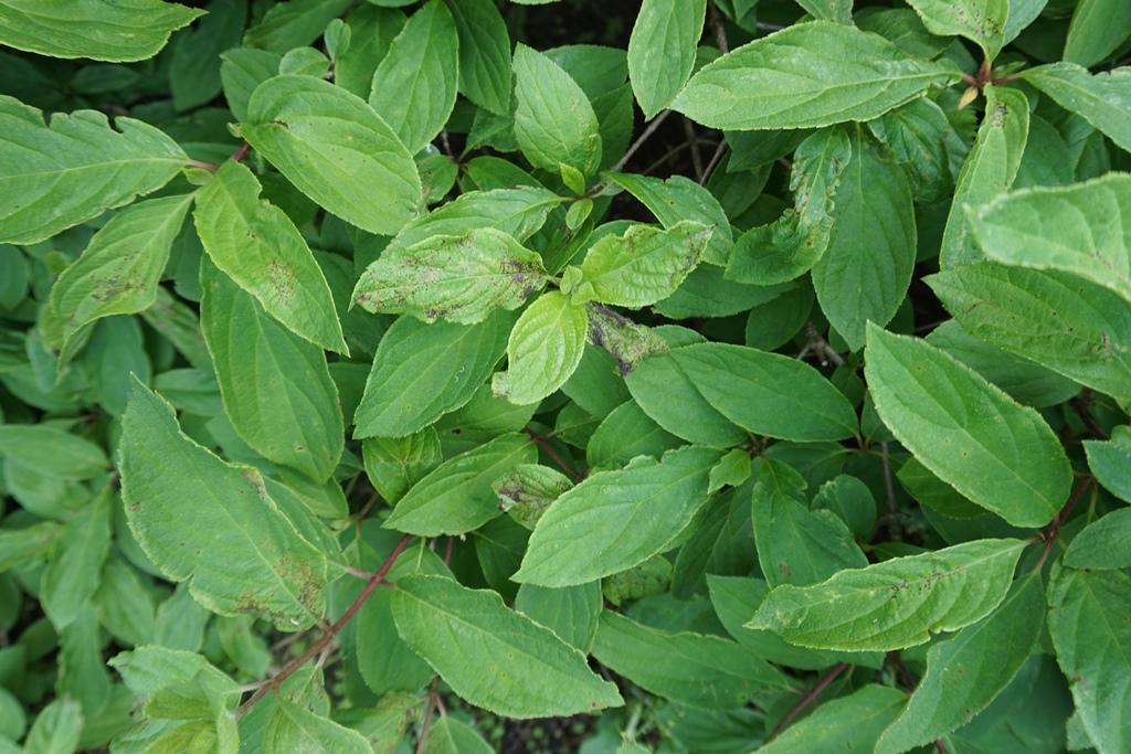 4 line-plant bug feeding damage on hydrangea