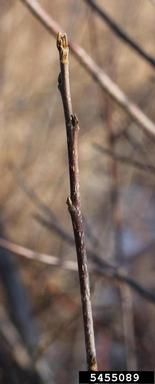 Bud and twig of glossy buckthorn