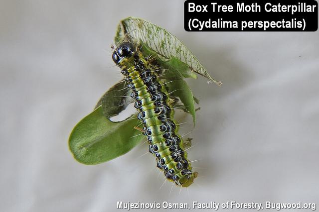 Box Tree Moth