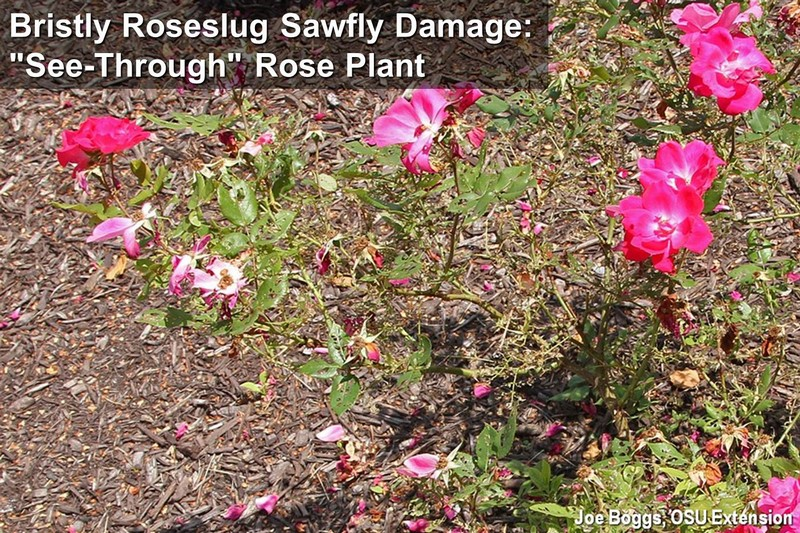 Bristly Roseslug Sawfly Whole Plant Damage
