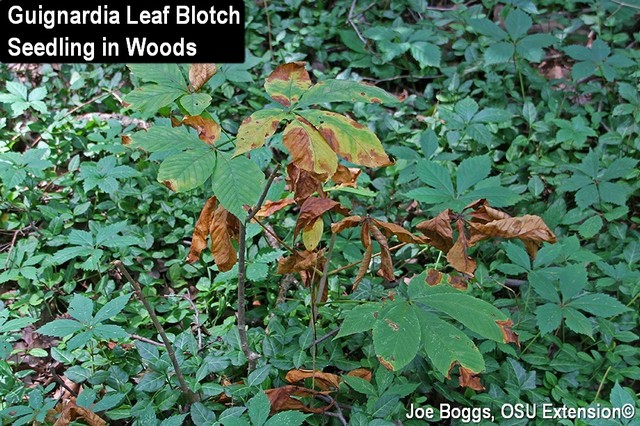 Guignardia Leaf Blotch