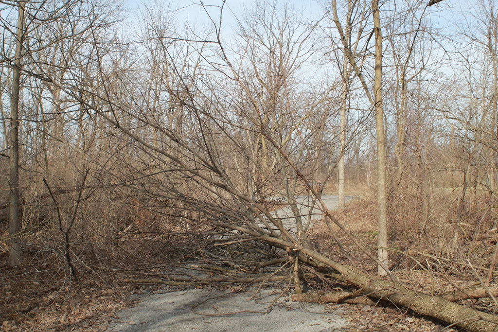 Ash Trees Falling in Park