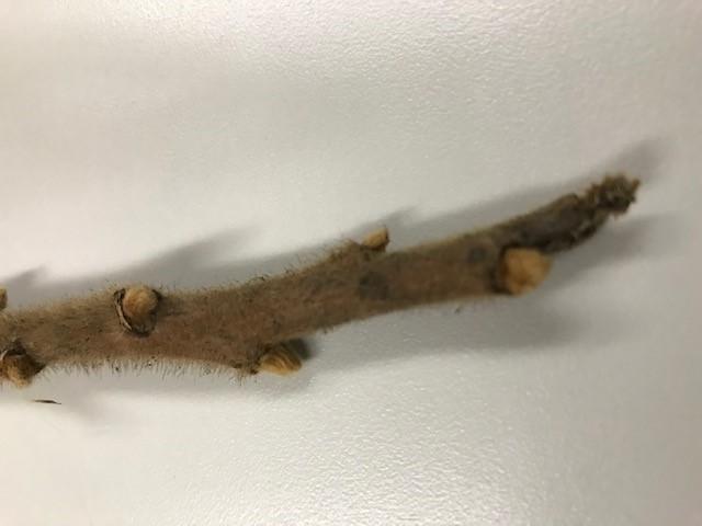 ailanthus twig