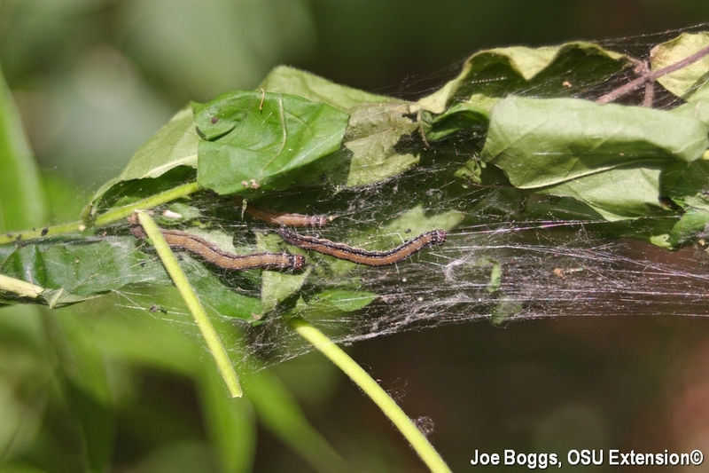 Ailanthus webworm caterpillars in nest