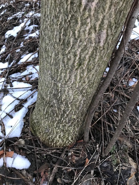 ailanthus trunk