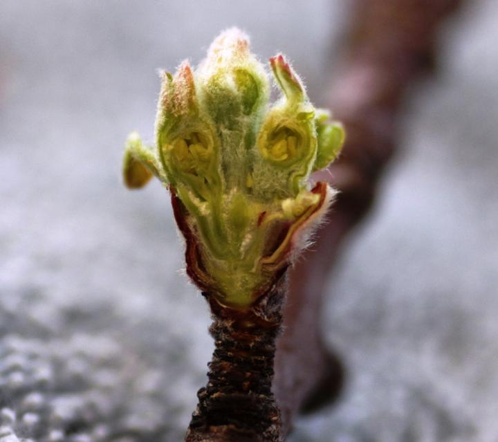 Apple bud unaffected by frost
