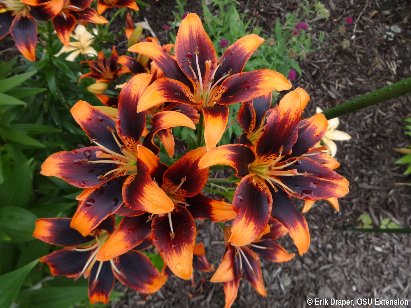 Asiatic Lilies Blooming Like Crazy In Ne Ohio Bygl