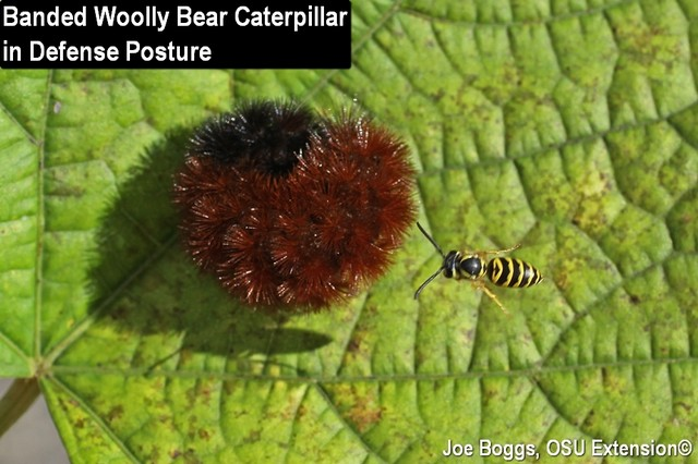 Woolly Bear