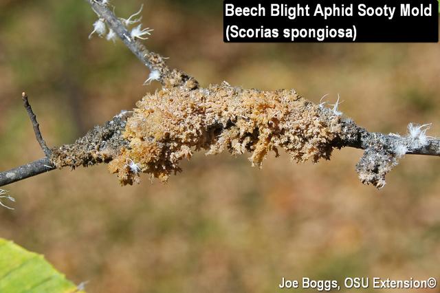 Beech Blight Aphids