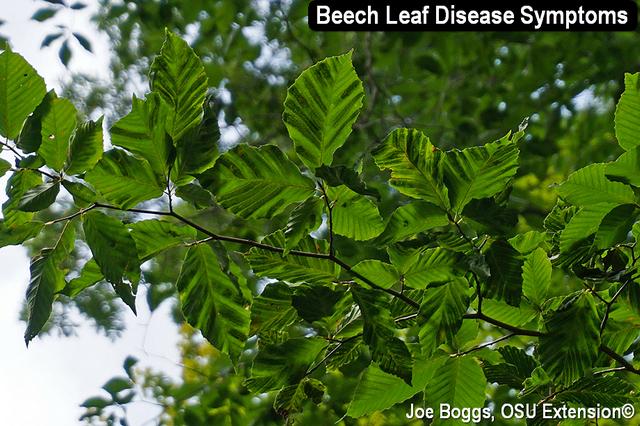 Beech Leaf Disease