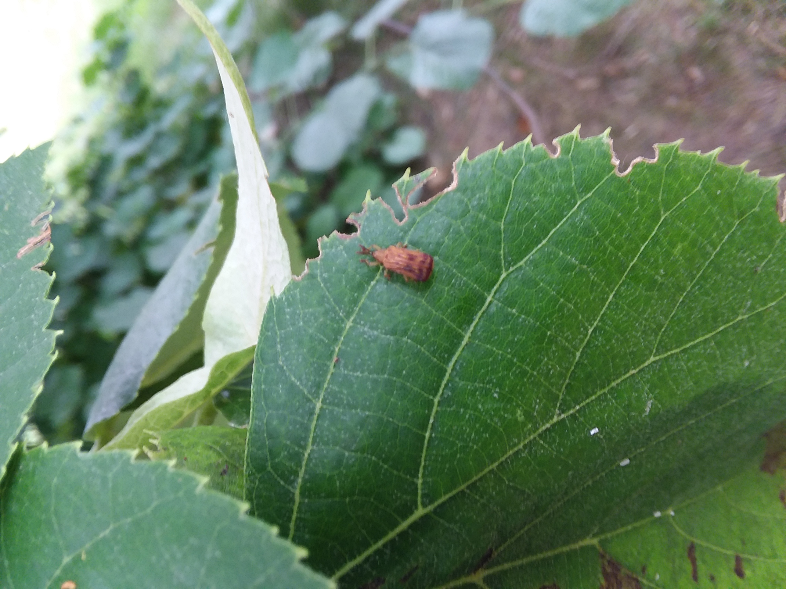 Basswood Leaf Miner Adult, Amy Stone