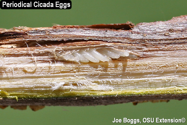 Periodical Cicada Eggs