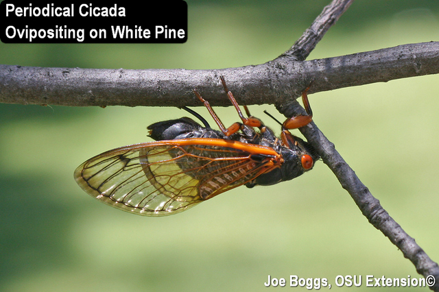 Periodical Cicada Ovipositing on White Pine