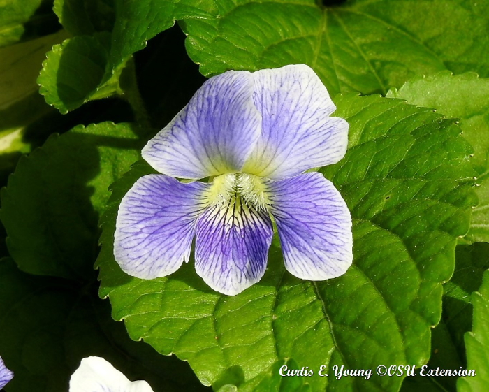 A close-up of a confederate violet.
