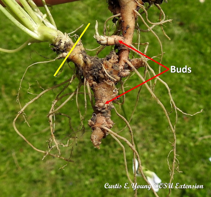 Buds on rhizomes and natural break points along rhizome.