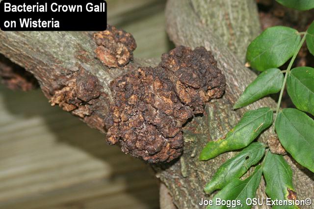 Bacterial Crown Gall