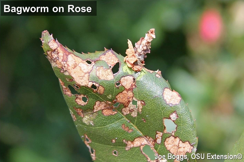 Bagworm on Rose