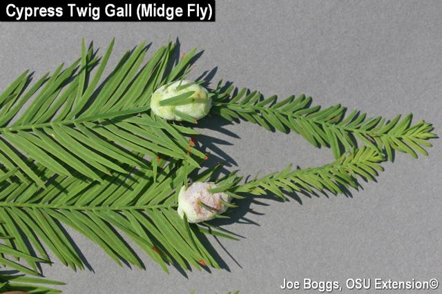 Cypress Twig Galls
