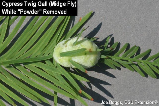 Cypress Midge Gall