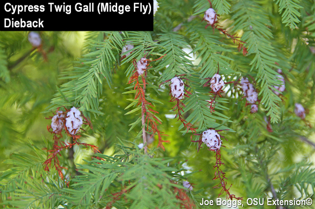 baldcypress galls